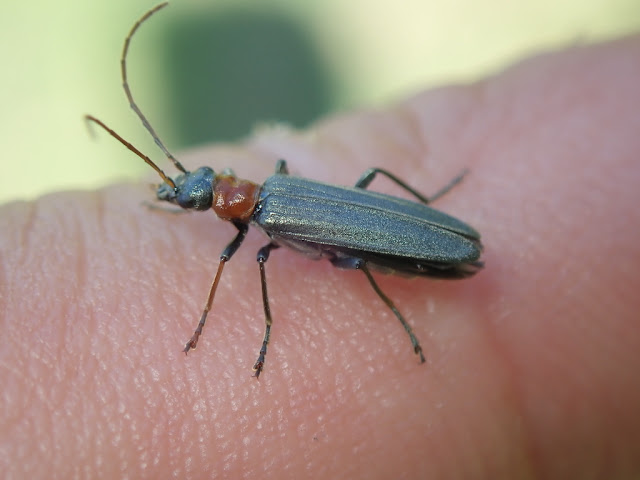 Oedemera croceicollis