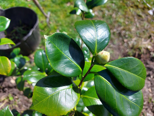 A branch of a Camellia bush with a flower bud