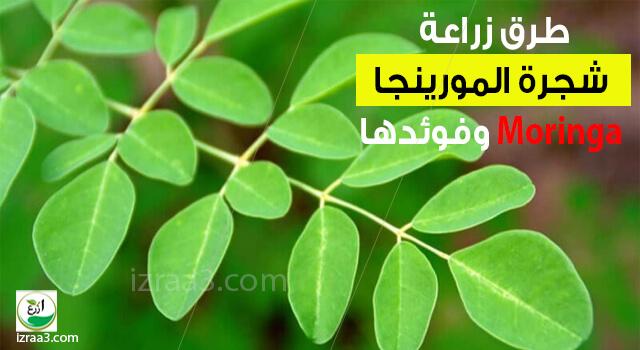 طرق زراعة شجرة المورينجا Moringa وفوئدها
