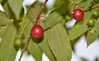 buah kersen makanan cabe jawa
