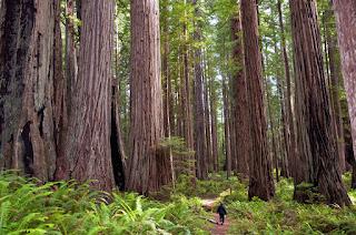 Los árboles más altos del planeta