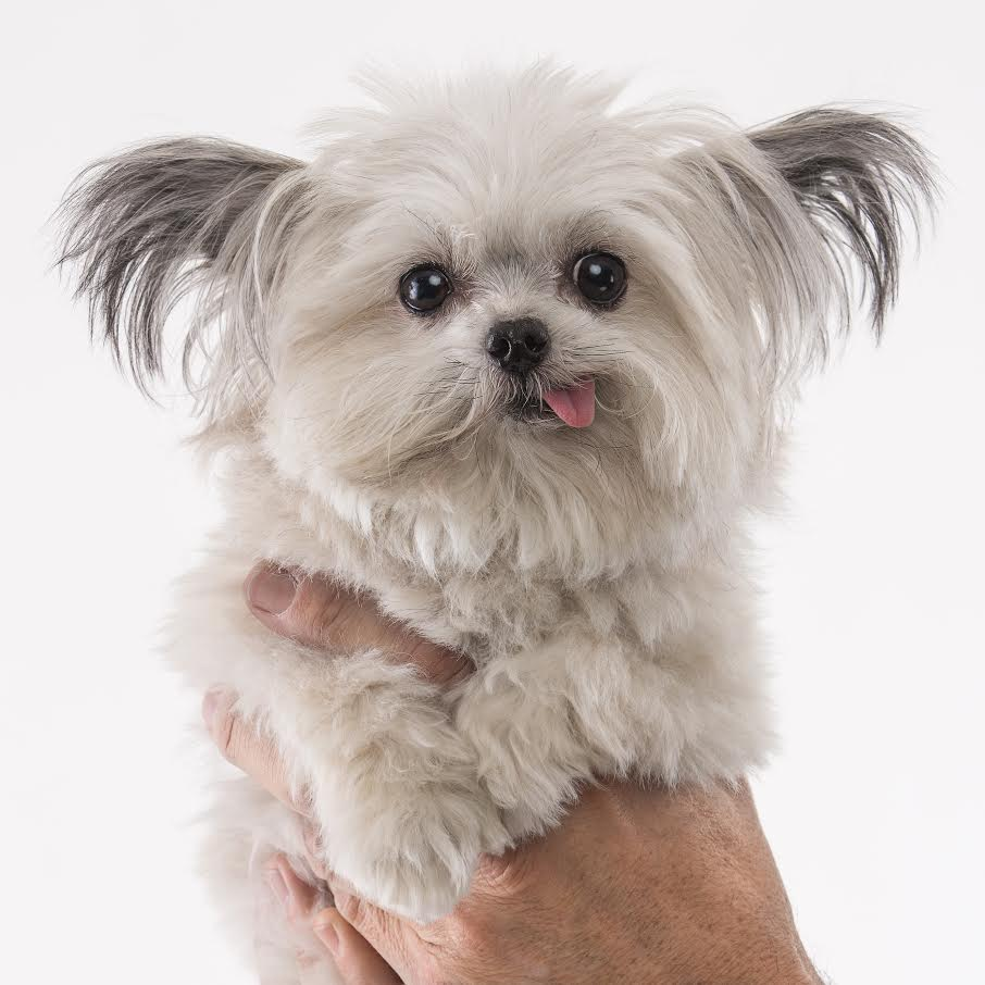 Therapy Dog For Sale Petfinder