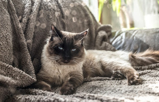 .قط  راغدول