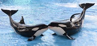 Death of Killer Whale