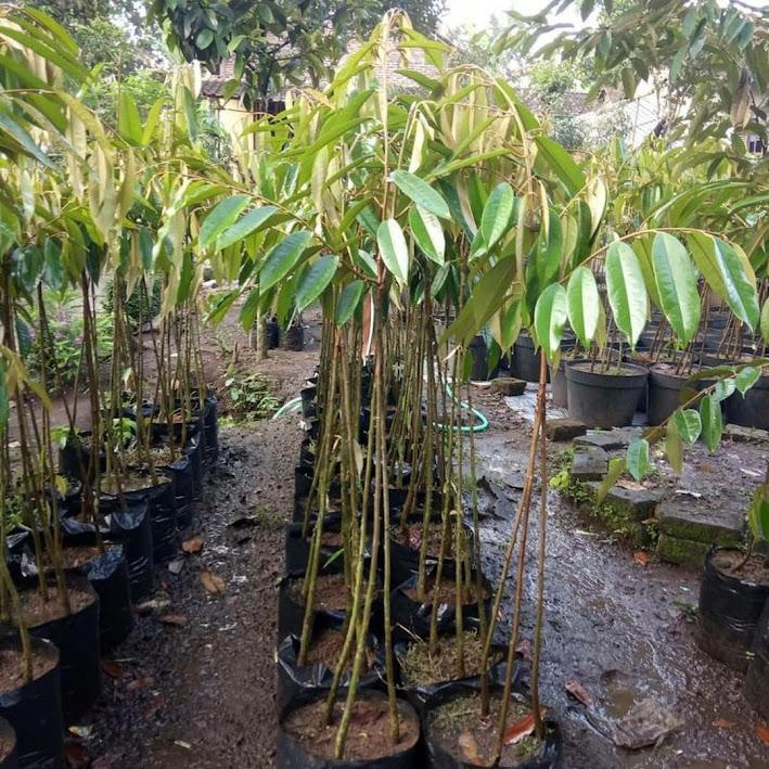 Bibit Durian Musangking kaki 3 Sumatra Barat