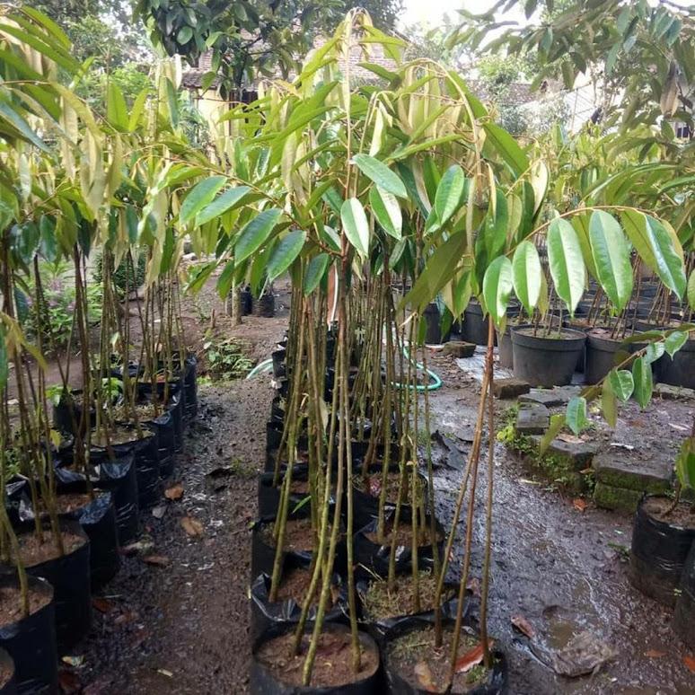 Bibit Durian Musangking kaki 3 Pekanbaru