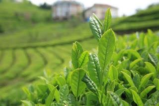 Çay Tarımı ve İşleme Teknolojisi Ne İş Yapar, Çay Tarımı ve İşleme Teknolojisi İş İmkanları, Çay Tarımı ve İşleme Teknolojisi Maaşları