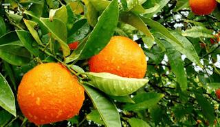 البرتقال الذهبي