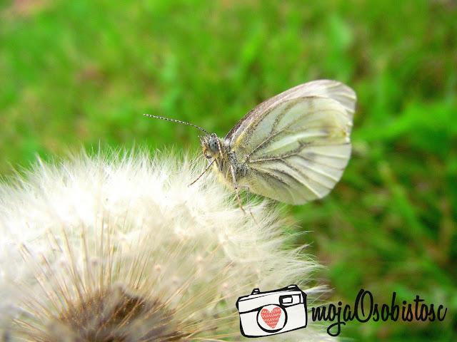 motyl i dmuchawiec