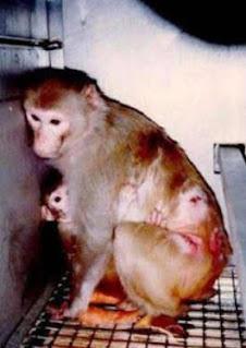 scimmia vivisezione