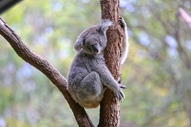 Vườn thú Taronga và công viên hoang dã Featherdale là hai trong số những địa điểm tốt nhất để ngắm nhìn động vật bản địa Australia. Bạn thậm chí còn có thể ôm một chú gấu túi Koala - điều mà cả du khách nước ngoài lẫn người dân địa phương đều thích làm.