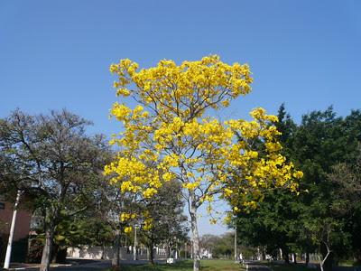 ipê_amarelo_florido