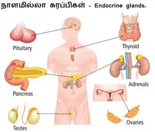 நாளமில்லா சுரப்பிகள் - Endocrine glands.