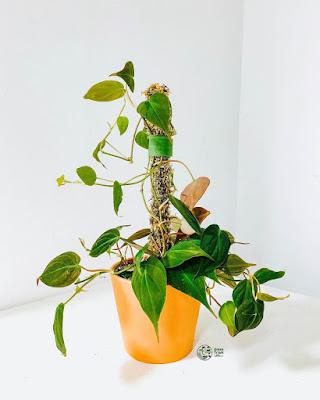 3 chậu trầu bà Philodendron Micans được lắp vào cột rêu