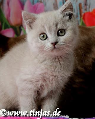 Britisch Kurzhaar Katzenzucht lilac tinjas Katzenbabys 2017 05 10 7