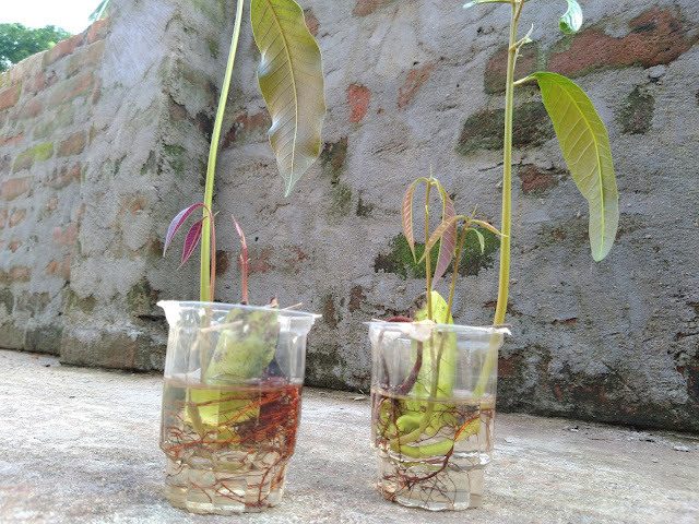 mango plant in water