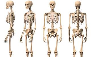 الهيكل العظمي للأنسان