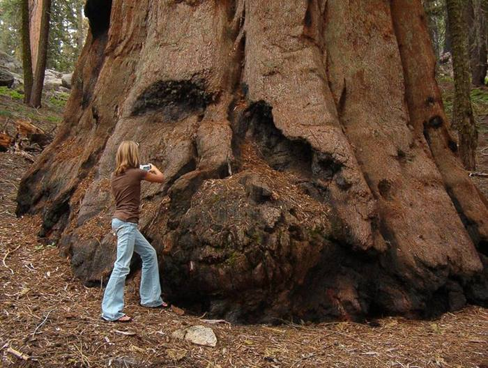 The Largest Tree on our Planet