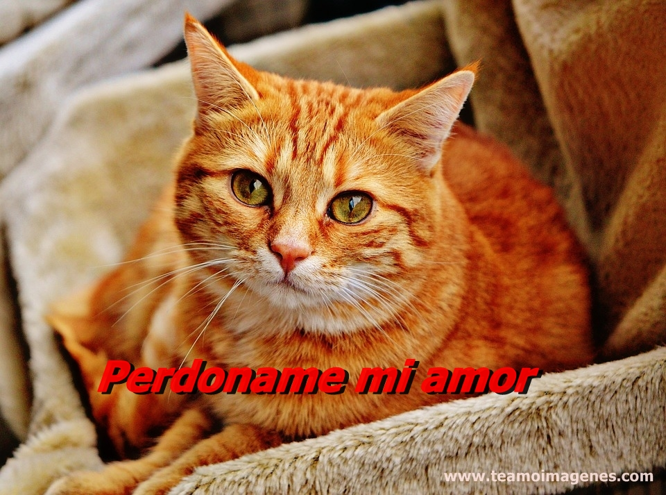 Las mejores imagenes de gatitos tiernos con frases de amor, teamoimagenes.com