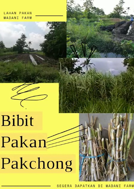 Jual Beli Bibit Pakchong Madani Farm