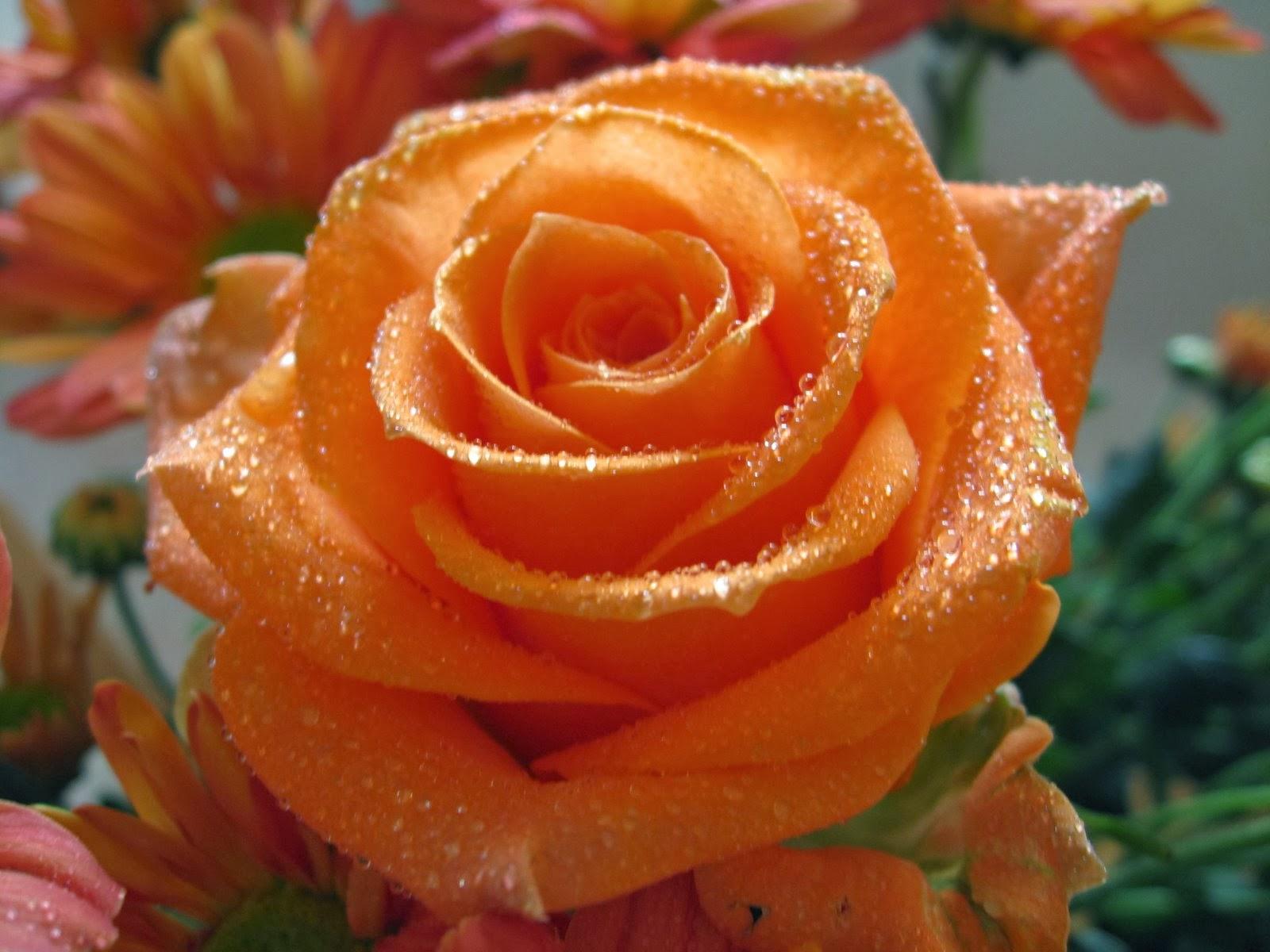 orange+rose+wallpapers.+(2)