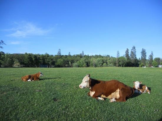 Detective perplessi per le misteriose mutilazioni di bestiame dell'Oregon