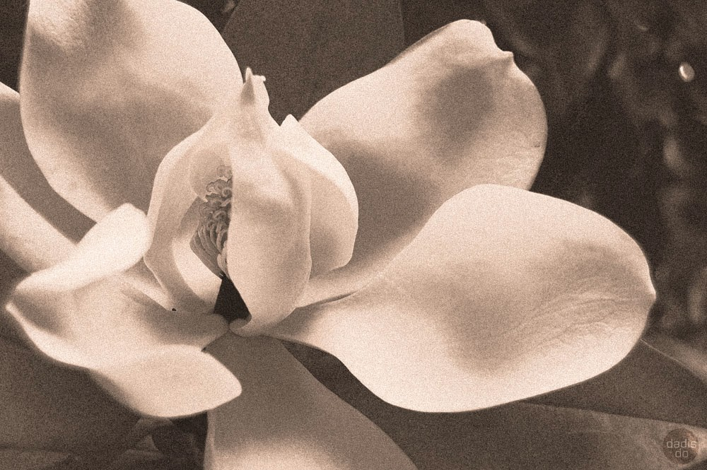 karaliskais magnoliums plaukumā