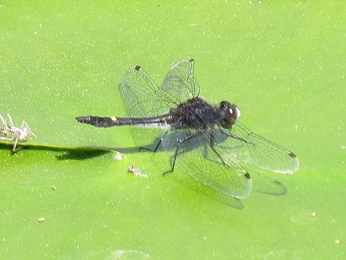 Illinois River Cruiser dragonfly