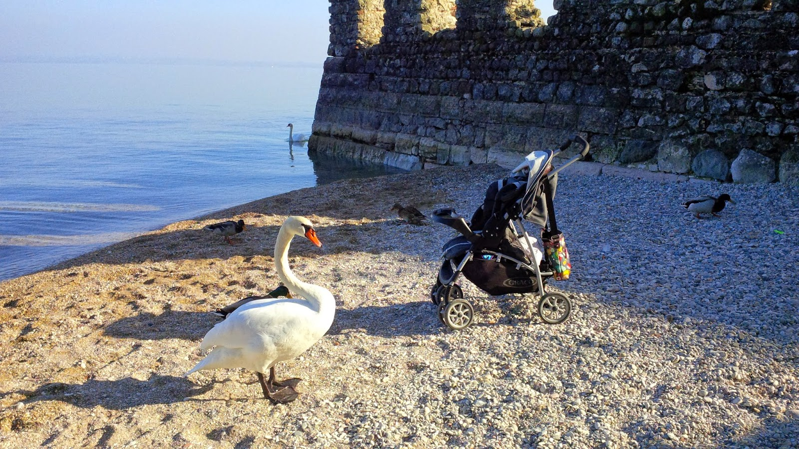 A swan courts our laden with stuff buggy on a Lake Garda beach