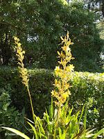 Bloodroot - Wachendorfia - Wellington Botanic Garden, New Zealand
