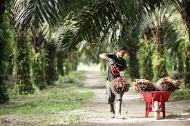 Berikut Ini Daftar Lengkap Harga TBS Sawit di Riau untuk Sepekan Kedepan
