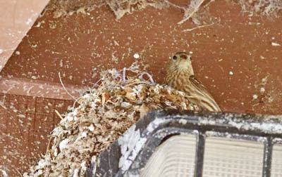 Photo of a female House Finch peeking over her nest on a light fixture