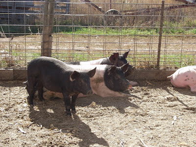 Pigs in an outdoor pen