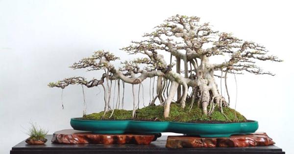 Ficus Bonsai Terbaik