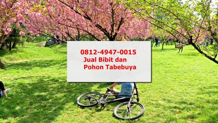 Jual Bibit Pohon Tabebuya Pink di Yogyakarta