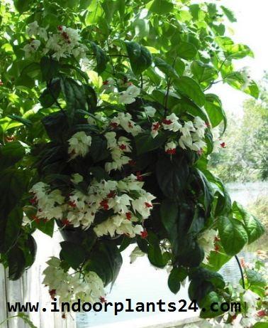 Clerodendrum Thomsoniae indoor plant