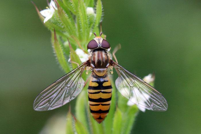 Lalat yang Meniru Tawon