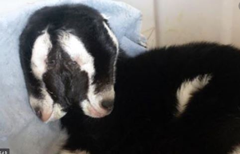 A goat born with two heads:  Wisconsin