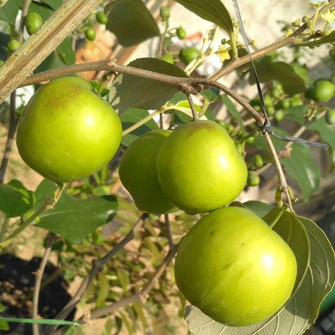 Harga Hemat! Bibit Apel India Putsa Tanaman Buah Hidup sudah berbunga Kota Kediri #Jual bibit buah