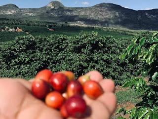 Café Orgânico da Chapada Diamantina conquista mercado em Portugal