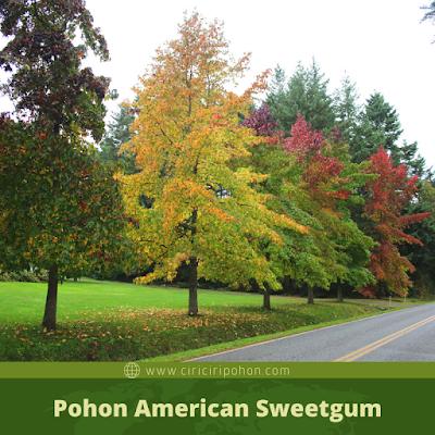 Ciri Ciri Pohon American Sweetgum