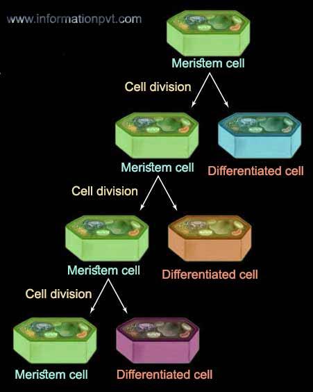 Meristem cell division