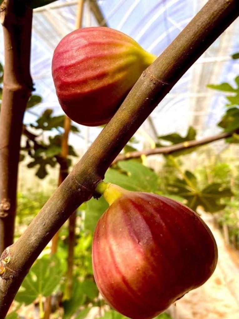 Bibit buah tin Super Red Hybrid fresh cangkok bibit buah tin Jawa Timur
