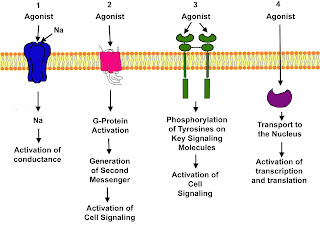Therapeutic and toxic effects of drugs result from their interactions with molecules in the patient