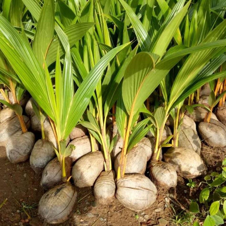 Bibit kelapa genjah entok unggul berkualitas dijamin berbuah 2 3thn Riau