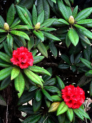 Sita flower