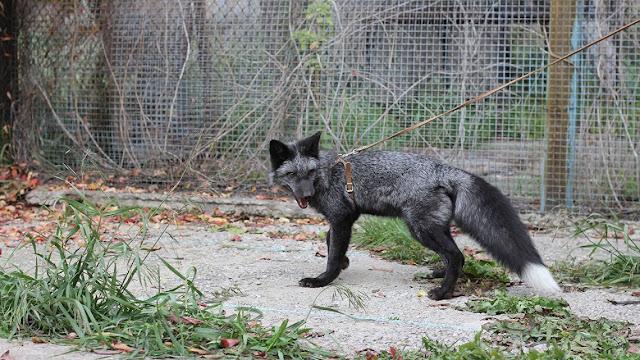 Silver fox study reveals genetic clues to social behaviour