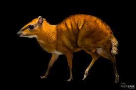 Ciervo ratón napu (Tragulus napu)