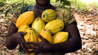 Cocoa, the main ingredient in our chocolate bars