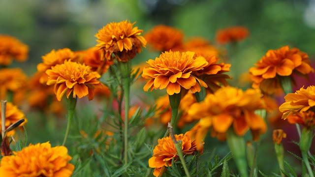 Marigold Orange flower in green blur background 4k HD flowers